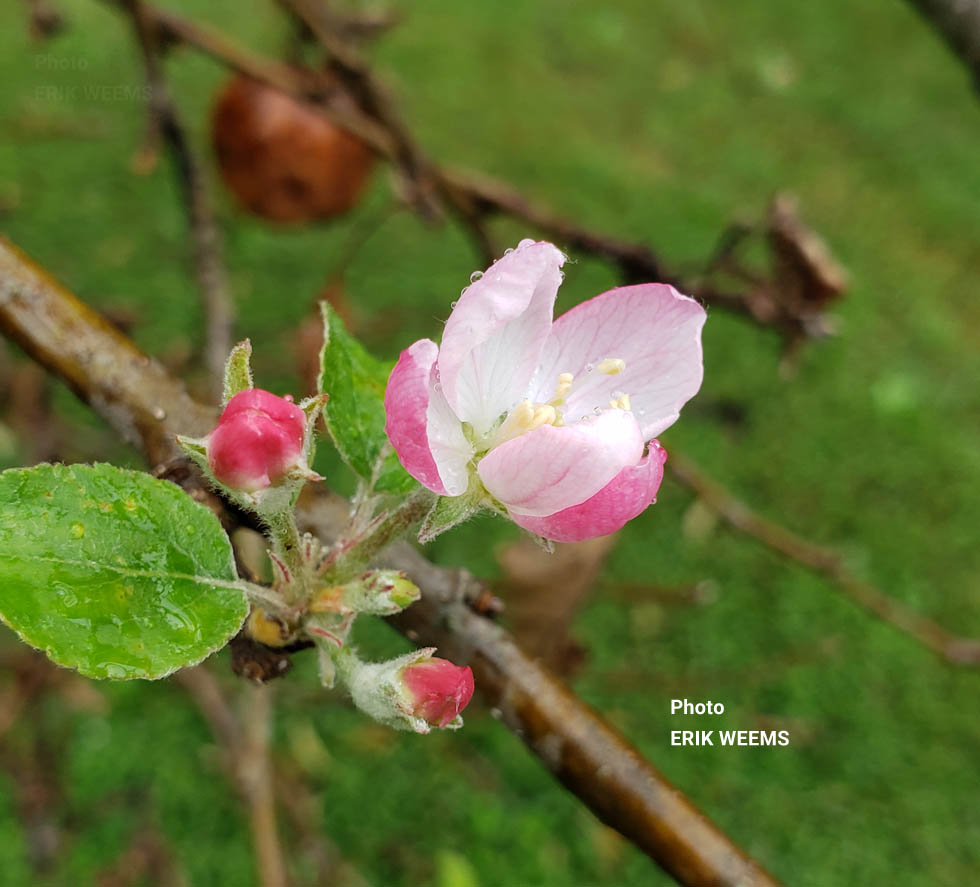 Large Apple Blossom - Chesterfield Virginia